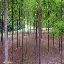 GSP Nut Trees