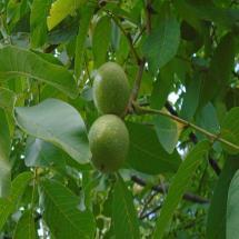 GSP Black Walnut Trees
