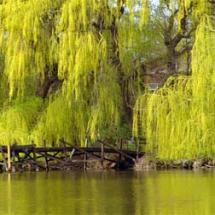 Niobe Gold Weeping Willow