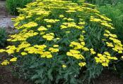 Achillea Sassy Summer Lemon Yarrow