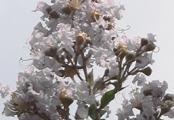 Acoma White Crape Myrtle