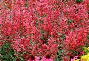 Agastache Raspberry Summer