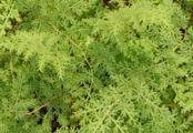 Arborvitae Ferns