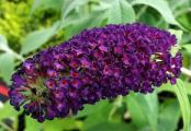 Black Knight Butterfly Bushes