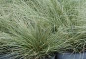 Blue Zinger Carex