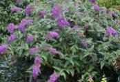 Purple Haze Buddleia