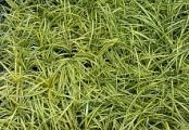Carex Evergold Sedge