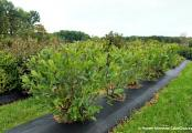 Chokeberry Low Scape Hedger Aronia