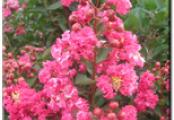 Raspberry Sundae Crape Myrtle
