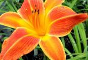 Orange Vols Daylily Hemerocallis