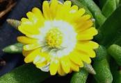 Delosperma Jewel of the Desert Peridot Ice Plant