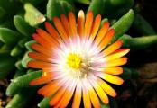 Delosperma Topaz Jewel of the Desert Ice Plant