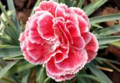 Dianthus Coral Reef - Scent First Border Pinks