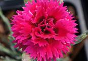 Dianthus Starlette Double Pink