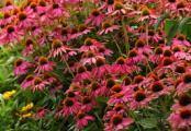 Pow Wow Wild Berry Coneflower | Purple  Echinacea