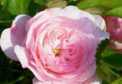 The Fairy Rose Small Flowering Shrub