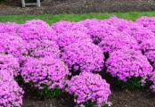 Forever Pink Phlox