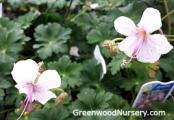 Geranium Biokovo | Cranesbill