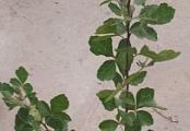 Rhus aromatica 'Gro-low'
