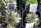 Hen and Chicks Plants