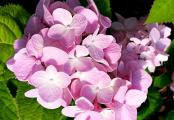 Hydrangea Penny Mac