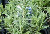 Lady Lavender Plants