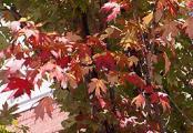 Red Sunset Maple Tree