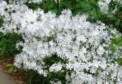 May Breeze Woodland Phlox