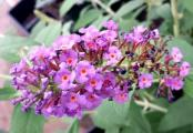 Nanho Blue Butterfly Bushes