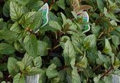 Blue Balsam Peppermint