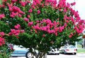 Pink Crape Myrtle Trees