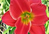 Red Hot Returns Daylily
