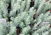 Blue Spruce Sedum Ground Cover