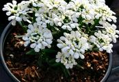 Iberis Snowsation Candytuft