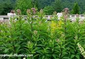 Swamp Milkweed | Asclepias incarnata