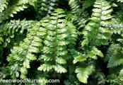 Tassel Fern - Polystichum polyblepharum