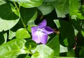 Vinca Major Ground Cover