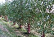 Hybrid Willow Trees