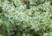 Wooly Thyme