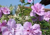 Ardens Rose of Sharon | Double Pink Flowering