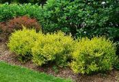 Cesky Gold Dwarf Birch