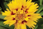 Coreopsis Rising Sun