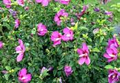 Lil Kim Violet Rose of Sharon Hibiscus