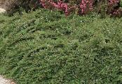 Little Dipper Cotoneaster Procumbens