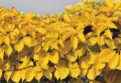 Virginia Creeper Yellow Wall
