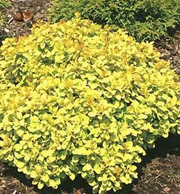 Barberry sunjoy gold beret low growing flowering shrubs for Low growing flowering shrubs