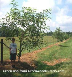 Green Ash Trees