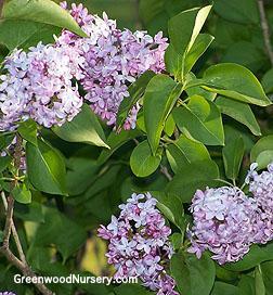 Old fashion lilac shrubs flowering shrubs