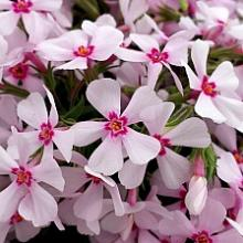 Apple Blossom Creeping Phlox