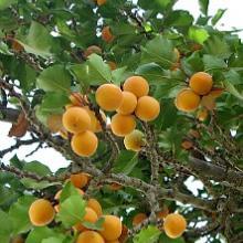 Apricot Prunus Armeniaca